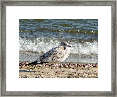 Framed Print featuring the photograph Speckled Brown Gull by Margie Avellino