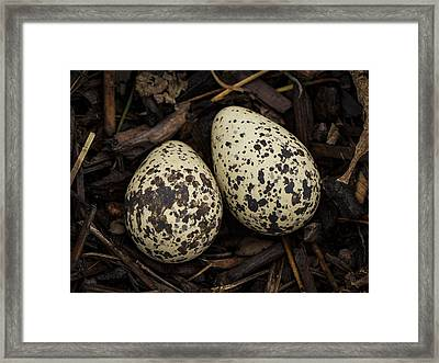 Speckled Killdeer Eggs By Jean Noren Framed Print