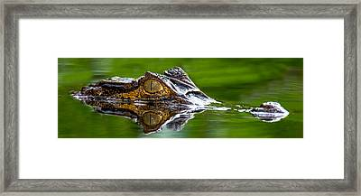 Spectacled Caiman Caiman Crocodilus Framed Print