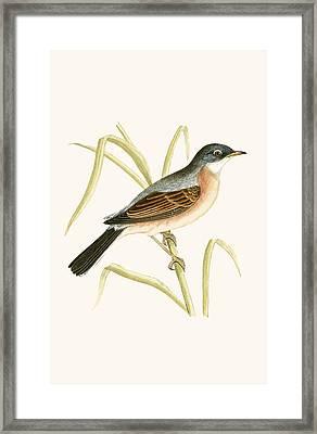 Spectacled Warbler Framed Print