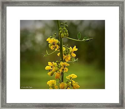 Spectacular Cassia Framed Print by Matt Taylor