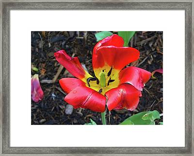 Framed Print featuring the photograph Spent Tulip by Larry Bishop