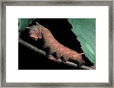 Sphinx Moth Caterpillar Framed Print
