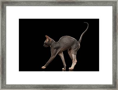 Sphynx Cat Funny Standing Isolated On Black Mirror Framed Print by Sergey Taran