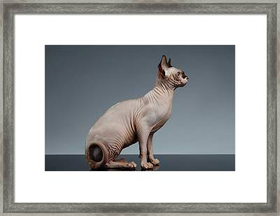 Sphynx Cat Sits And Looking Forward On Black  Framed Print by Sergey Taran