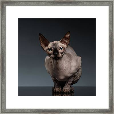 Sphynx Cat Sits In Front View On Black  Framed Print by Sergey Taran