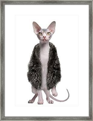 Sphynx Kitten Wearing Fur Framed Print