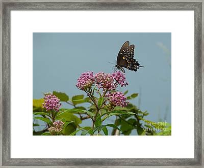 Spicebush Butterfly Framed Print