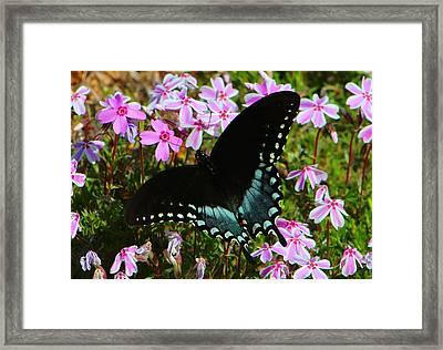 Spicebush Swallowtail Framed Print by Kathryn Meyer