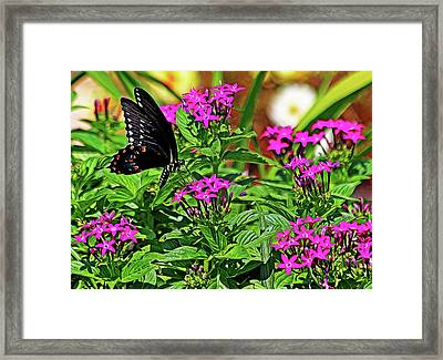 Spicebush Swallowtail Painted Framed Print