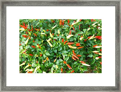 Spicy Chili Plant Framed Print