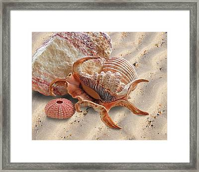 Spider Conch Shell On The Beach Framed Print by Gill Billington