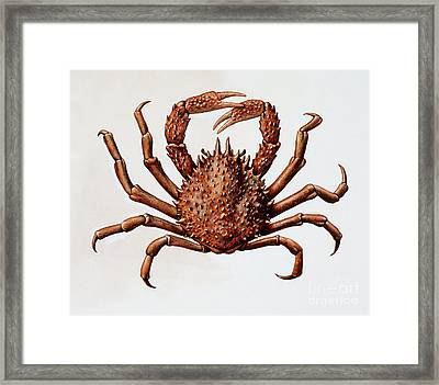 Spider Crab Or Spinous Spider Crab Framed Print