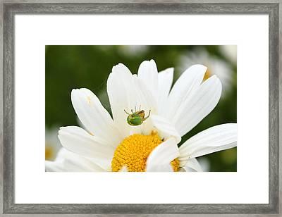 Spider Daisy Framed Print