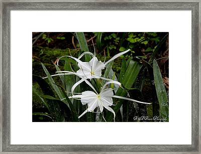 Framed Print featuring the photograph Spider Lilies by Barbara Bowen
