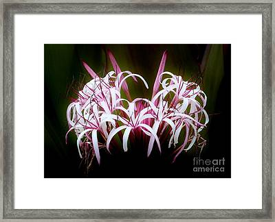 Spider Lilly Framed Print by Amar Sheow