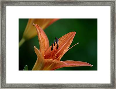 Framed Print featuring the photograph Spider Lily 2 by Cathy Harper