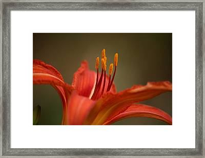 Spider Lily Framed Print by Cathy Harper
