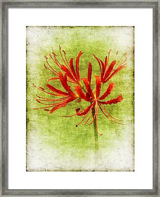 Spider Lily Framed Print by Judi Bagwell