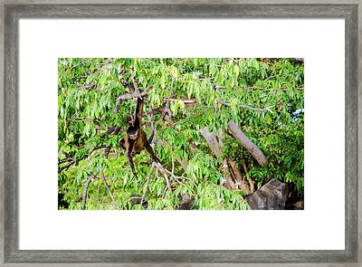Spider Monkey Challenge Framed Print by Michael Santos