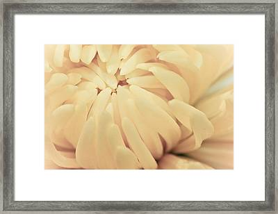 Spider Mum Flower Framed Print by Ryan Kelly