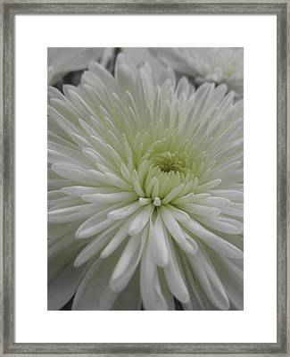 Spider Mumm Framed Print by Michele Caporaso