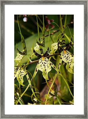 Spider Orchid Framed Print by Michael Palmer