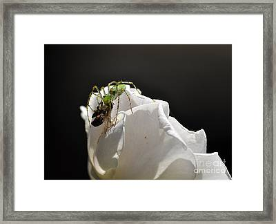 Spider Vs Bee On Rose Framed Print by Clayton Bruster