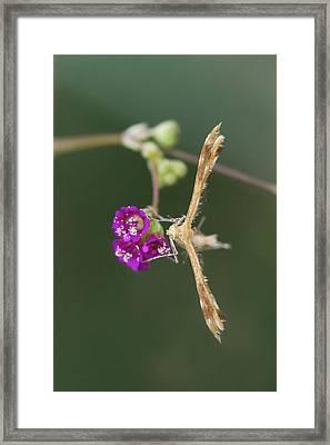 Spiderling Plume Moth On Wineflower Framed Print