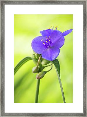Spiderwort Wildflower Framed Print