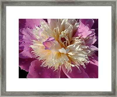 Single Sorbet Peony Framed Print by Cindy Treger
