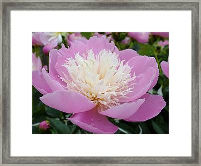 Sorbet Peony - Displayed Framed Print