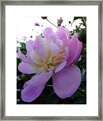 Sorbet Peony - Side View Framed Print