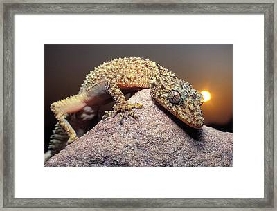 Spikey Australian Gecko Framed Print