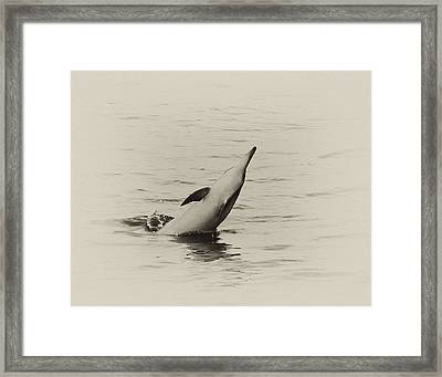 Spinner Dolphin Framed Print by Michael Peychich