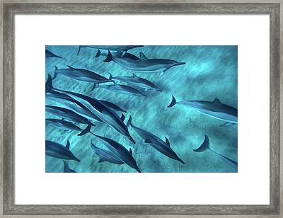 Spinner Dolphins Framed Print by Monica and Michael Sweet