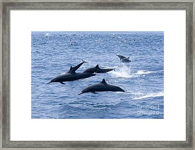 Spinner Dolphins Framed Print