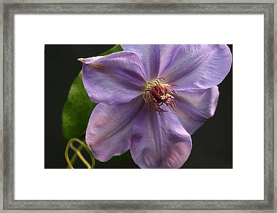 Spinning Clematis Framed Print by Tammy Pool