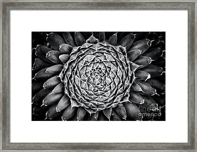 Spiny Pennywort Monochrome Framed Print by Tim Gainey