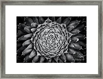Spiny Pennywort Monochrome Framed Print