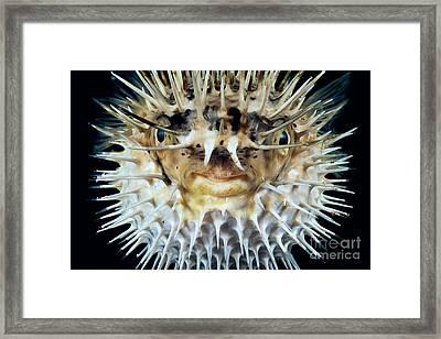Spiny Puffer Framed Print