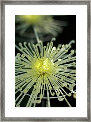 Spiral Chryanth Framed Print