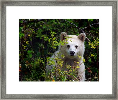 Spirit Bear Aka Kermode Cub Framed Print by Melody Watson