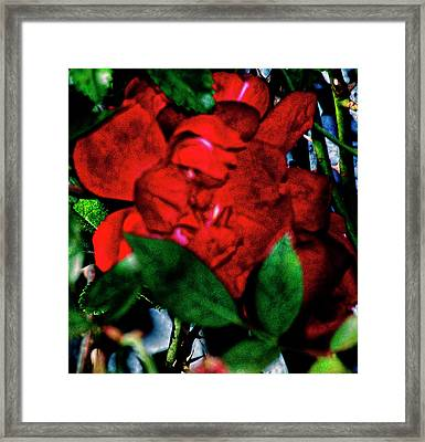 Spirit Of The Rose Framed Print by Gina O'Brien