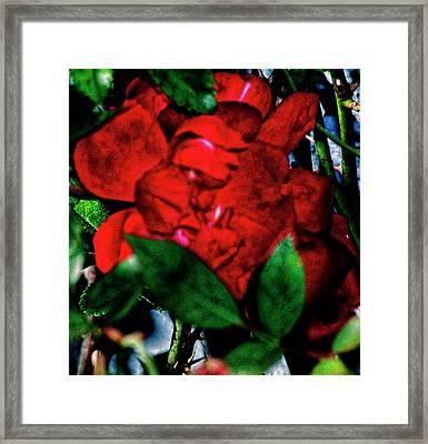 Spirit Of The Rose Framed Print