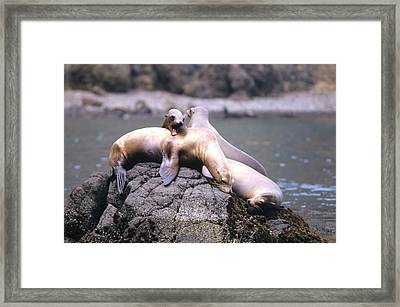 Spirited Sea Lions Framed Print