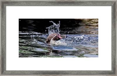 Framed Print featuring the photograph Splashing Humboldt Penguin by Scott Lyons