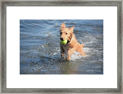 Splashing Little Red Duck Dog In The Ocean With A Ball Framed Print by DejaVu Designs