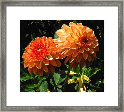 Splendor Of Fall Dahlias  Framed Print