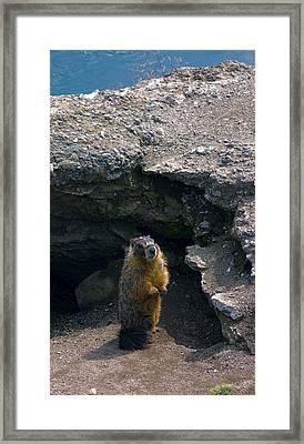 Spokane River Marmot Framed Print by Daniel Hagerman